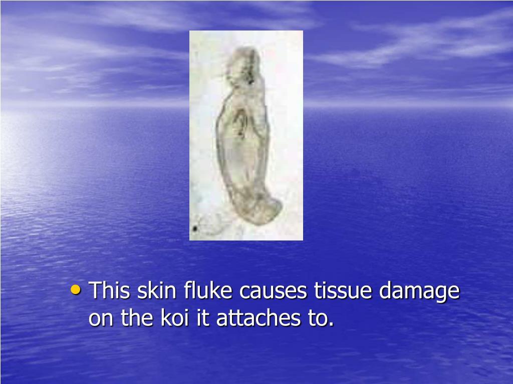 This skin fluke causes tissue damage on the koi it attaches to.