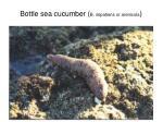 bottle sea cucumber b impatiens or arenicola