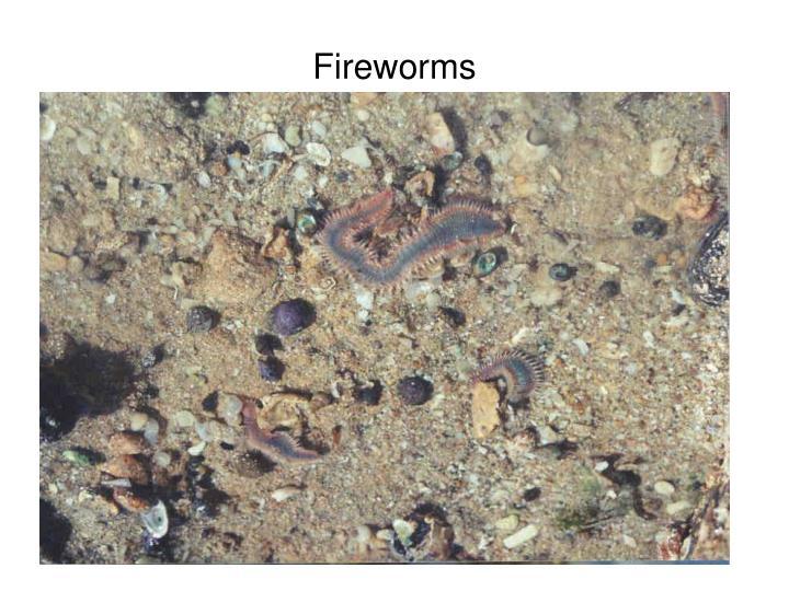 Fireworms