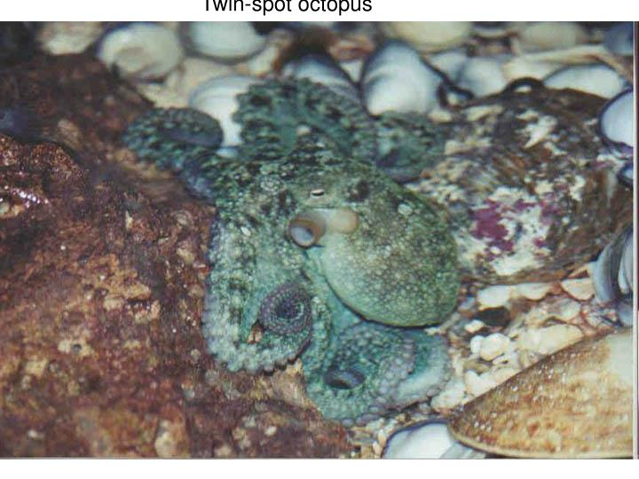 Twin-spot octopus
