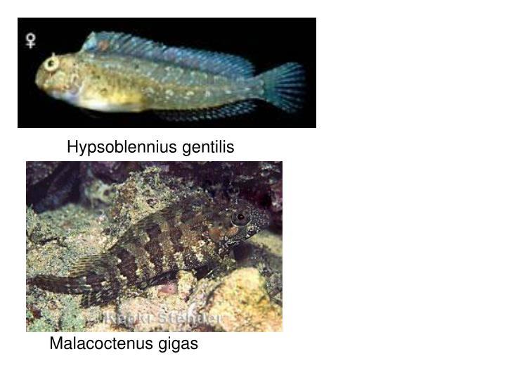 Hypsoblennius gentilis