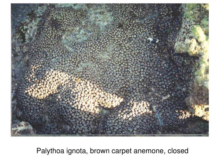 Palythoa ignota, brown carpet anemone, closed