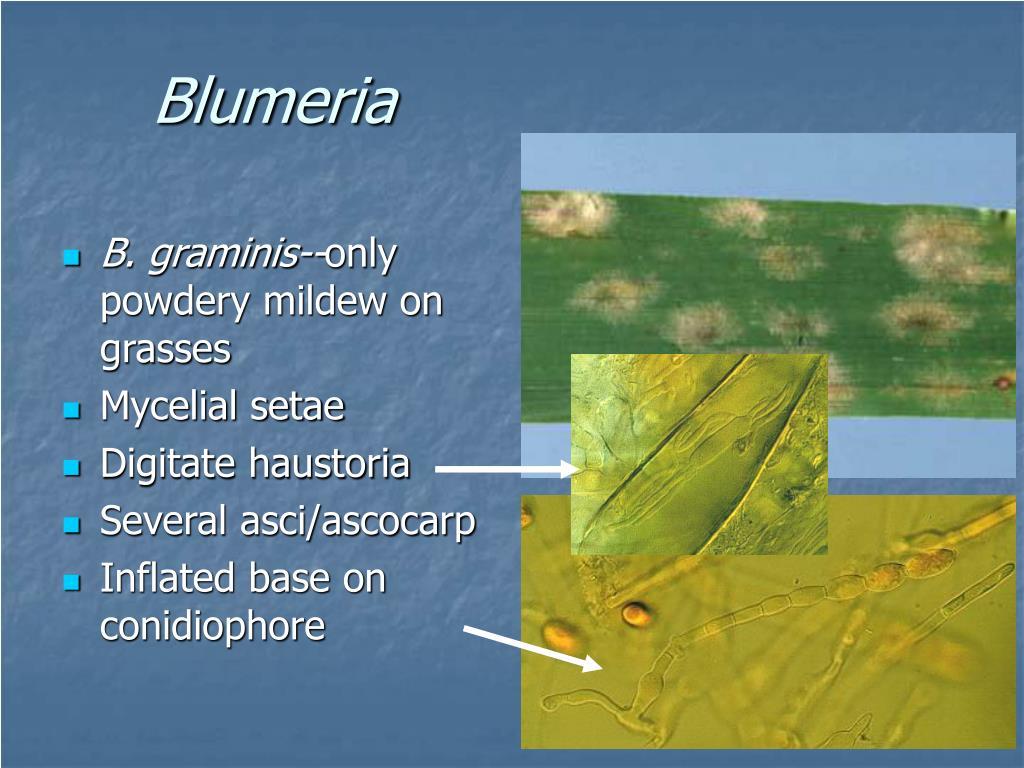 Blumeria