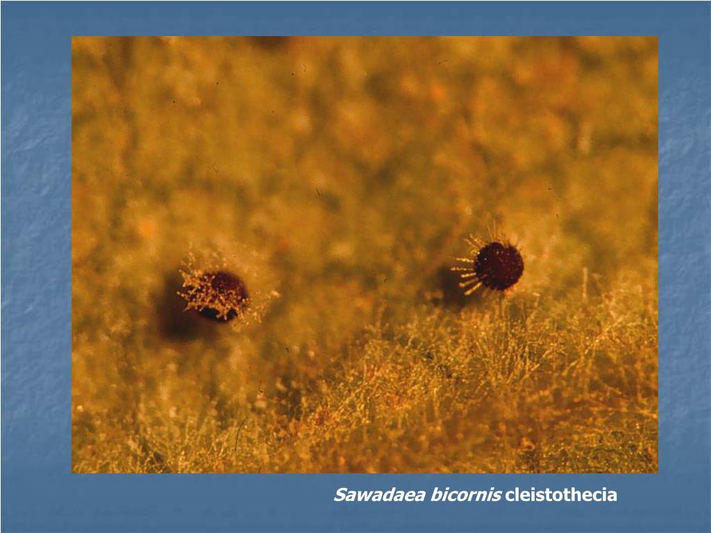 Sawadaea bicornis