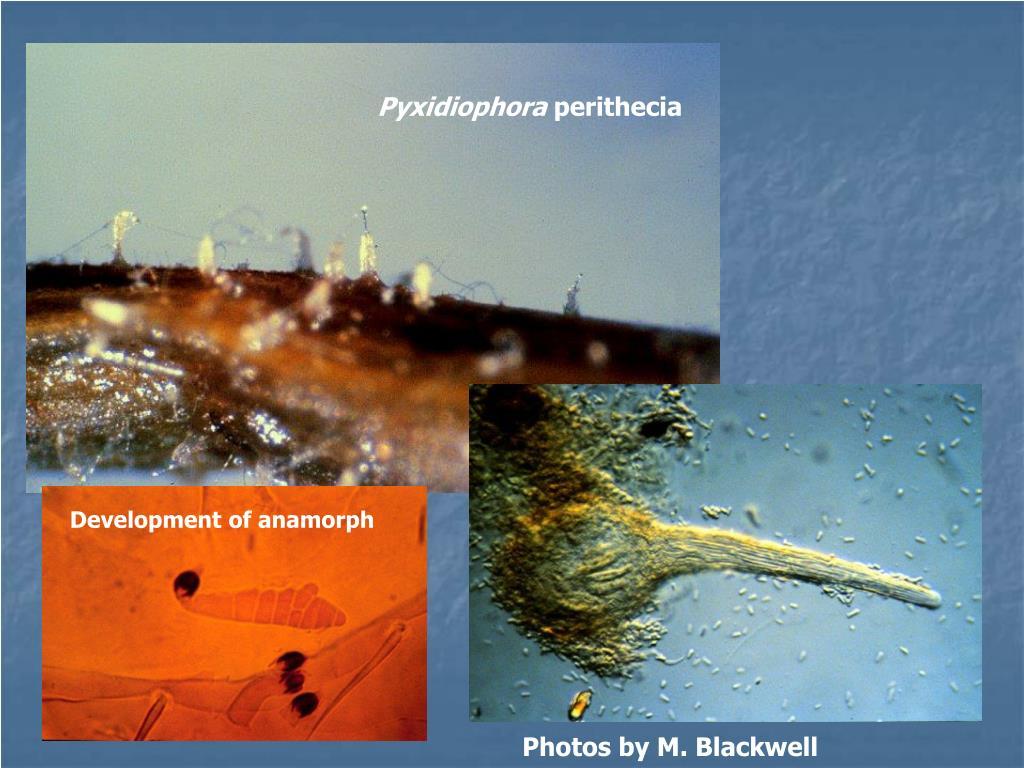 Pyxidiophora