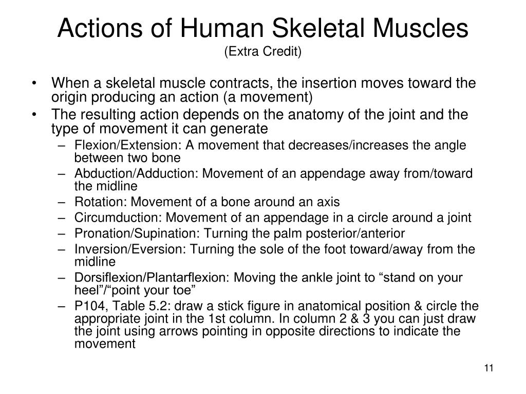 Actions of Human Skeletal Muscles