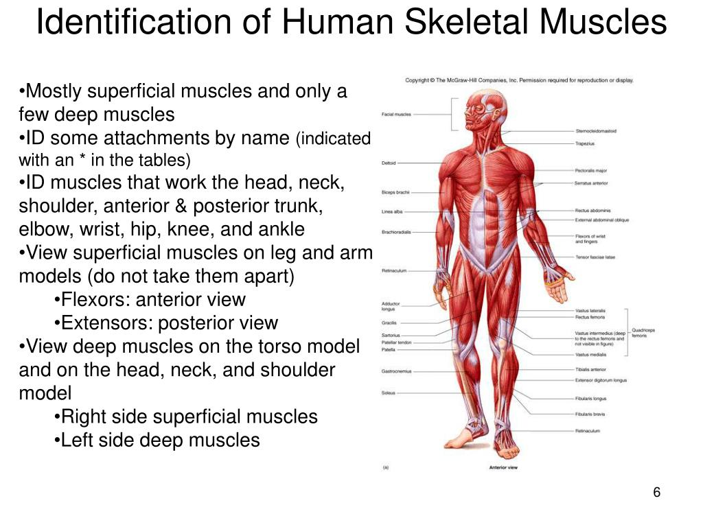 Identification of Human Skeletal Muscles