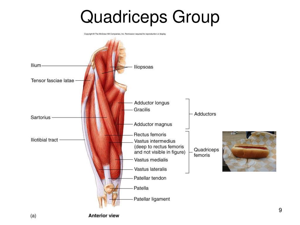 Quadriceps Group