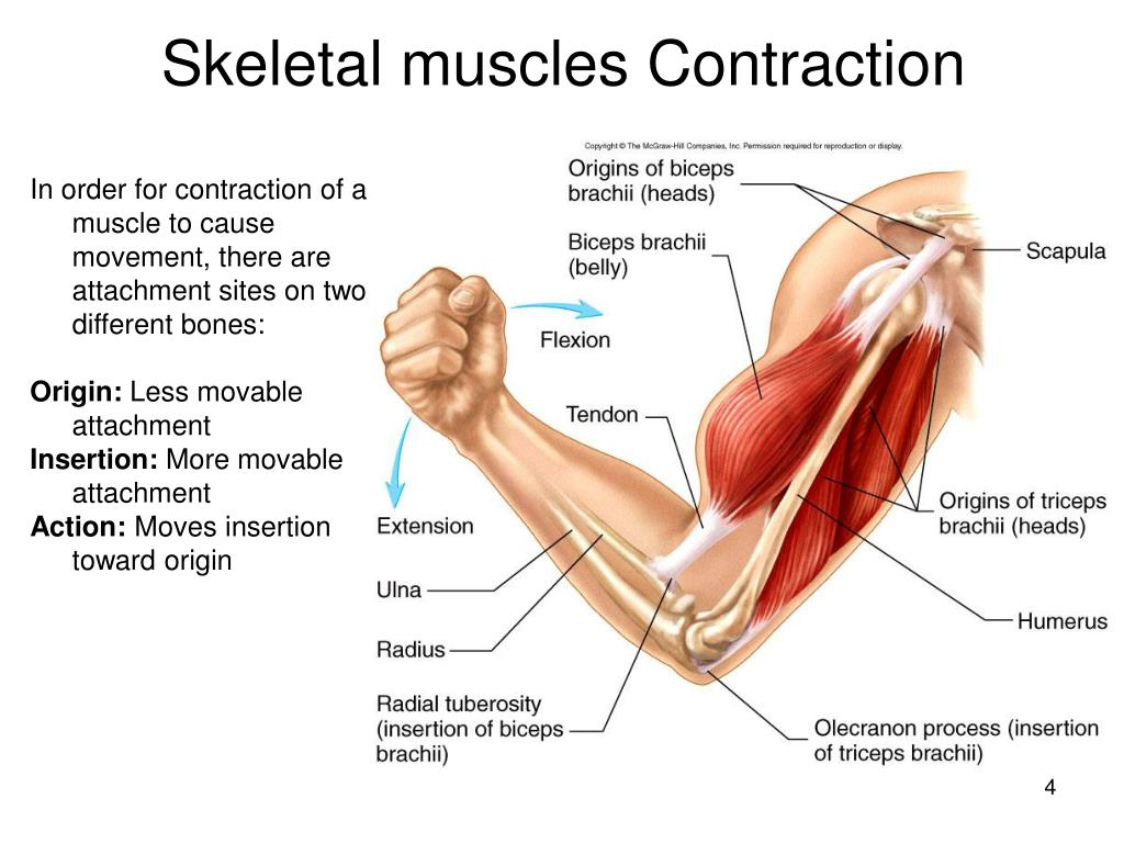 Skeletal muscles Contraction