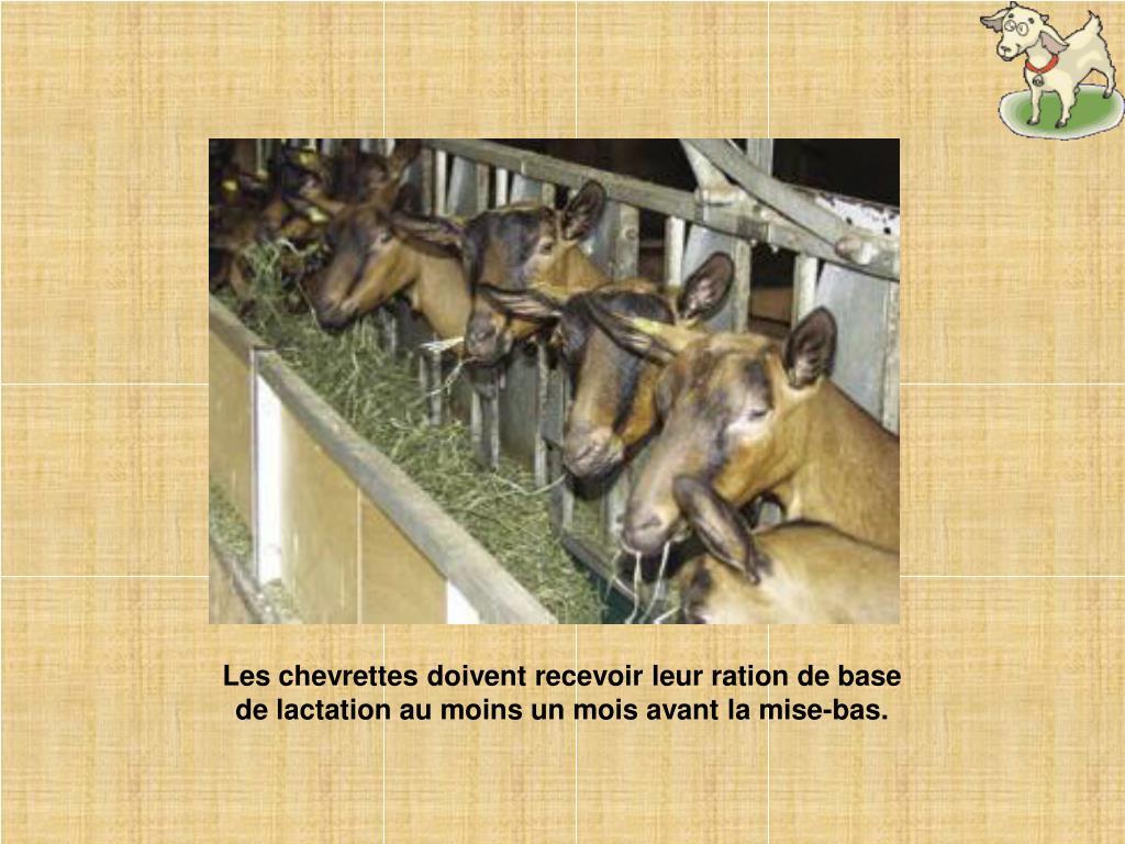 Les chevrettes doivent recevoir leur ration de base de lactation au moins un mois avant la mise-bas.
