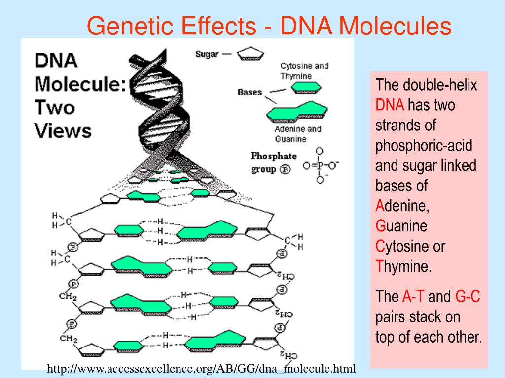Genetic Effects - DNA Molecules