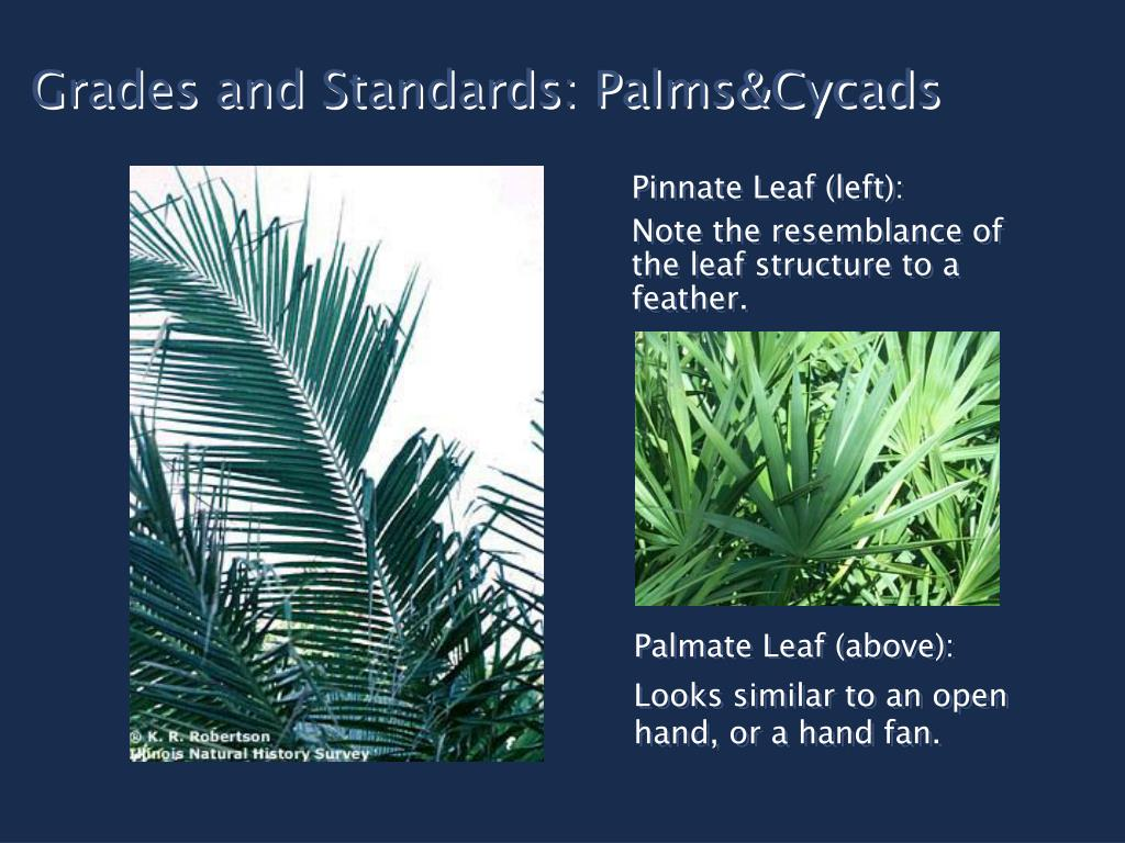 Grades and Standards: Palms&Cycads
