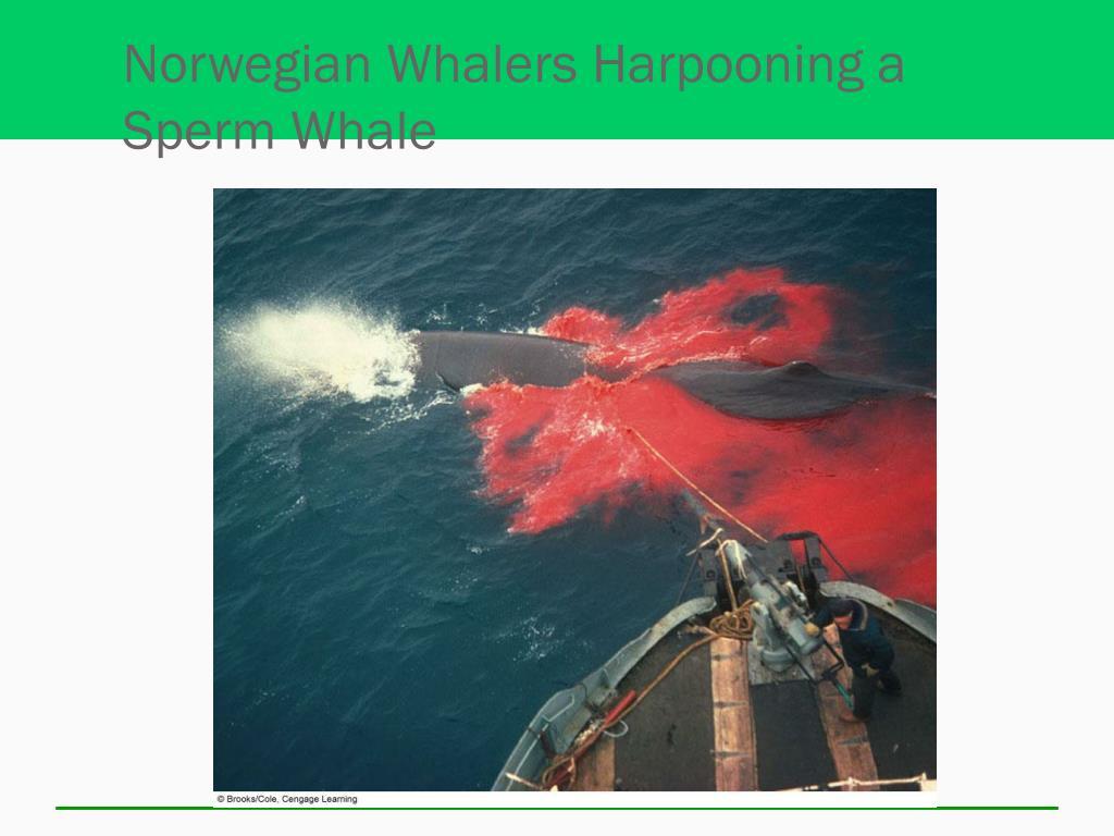 Norwegian Whalers Harpooning a