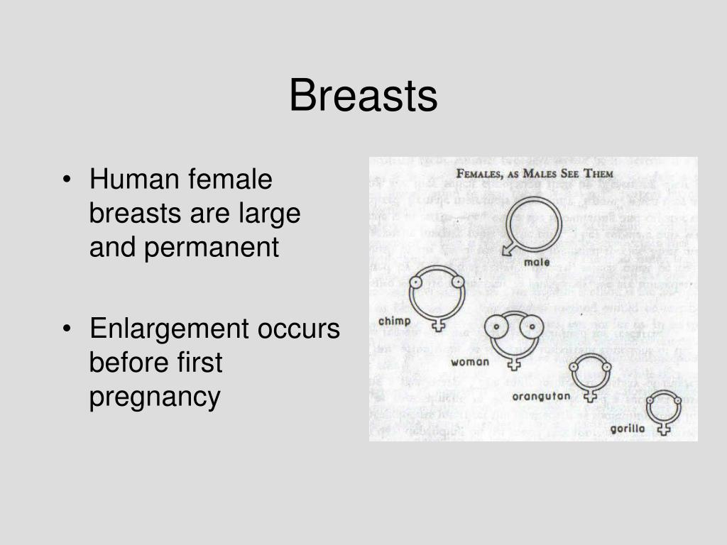 Human female breasts are large and permanent