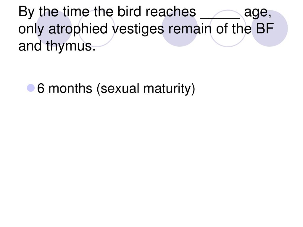 By the time the bird reaches _____ age, only atrophied vestiges remain of the BF and thymus.