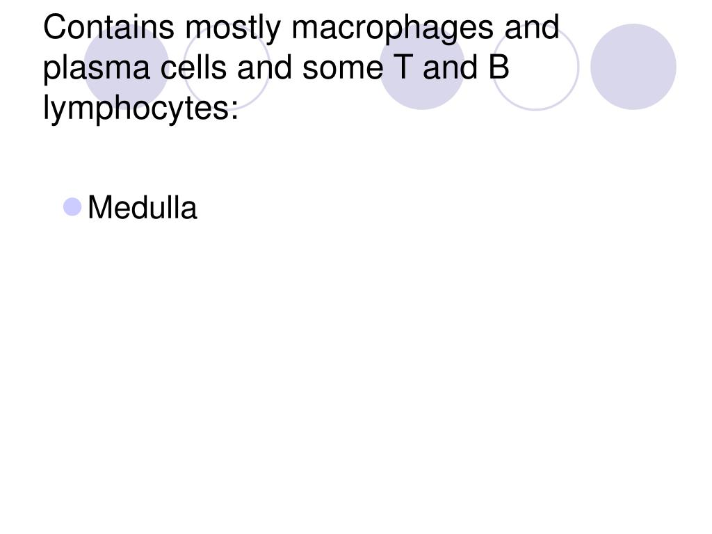 Contains mostly macrophages and plasma cells and some T and B lymphocytes: