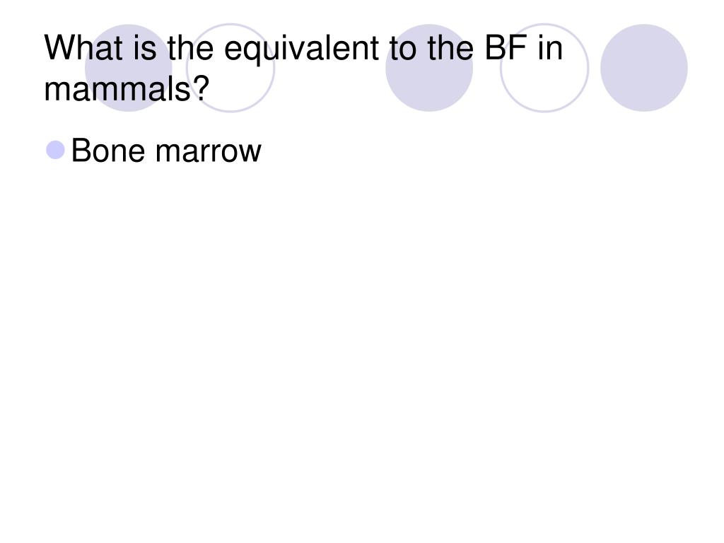 What is the equivalent to the BF in mammals?