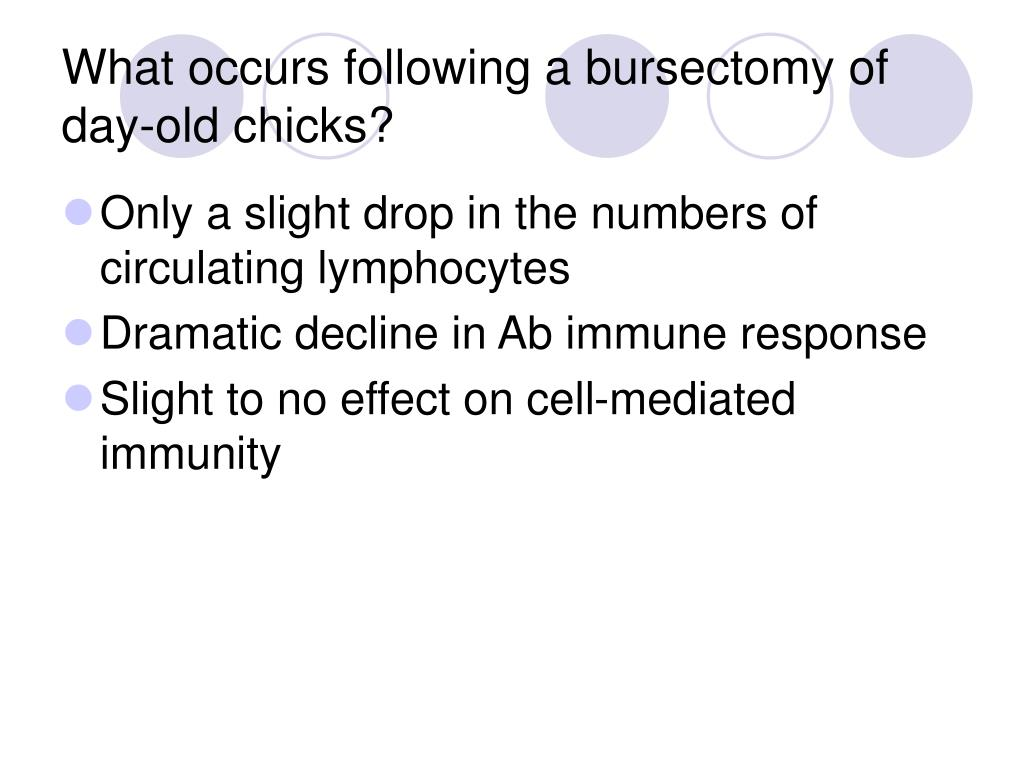 What occurs following a bursectomy of day-old chicks?