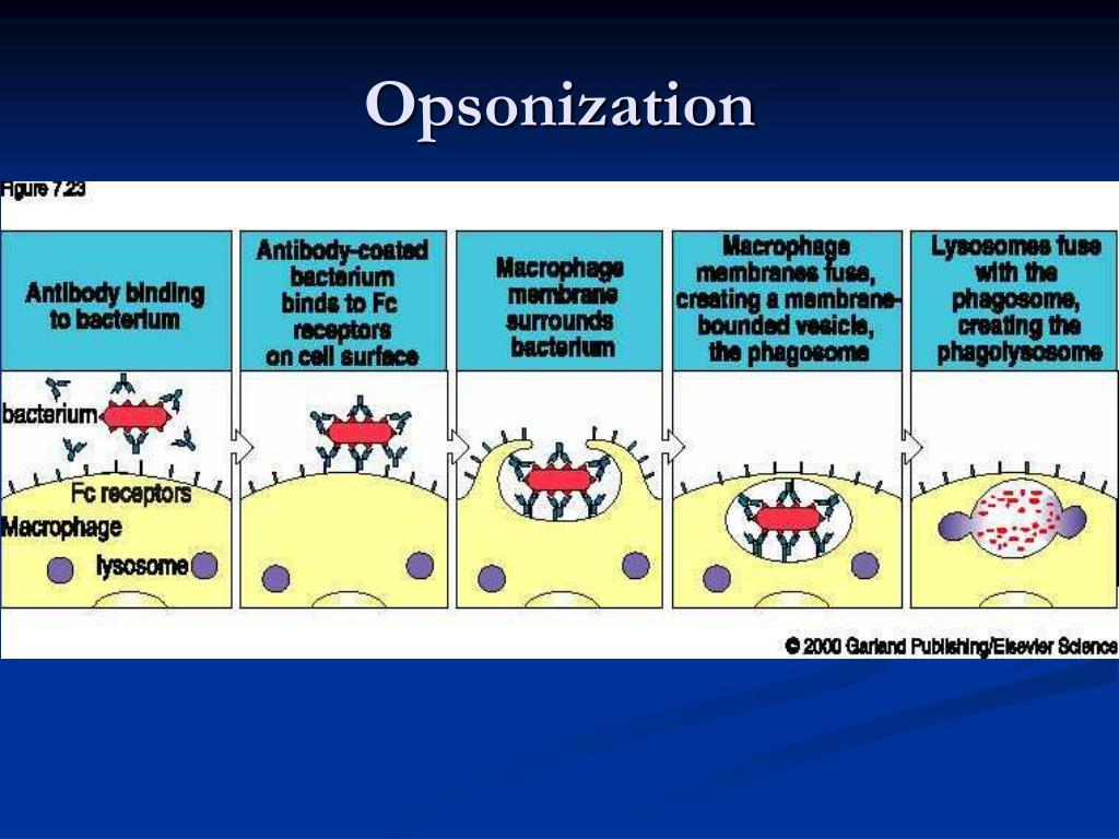 Opsonization