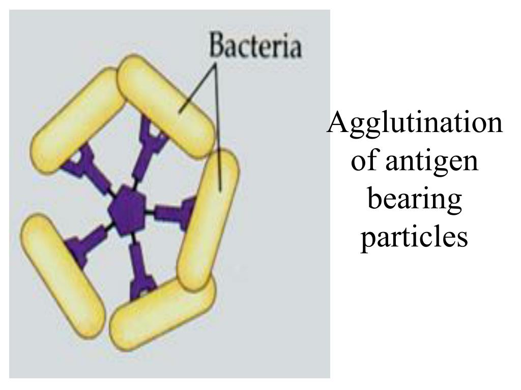Agglutination of antigen bearing particles