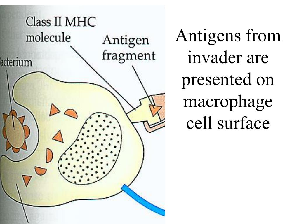 Antigens from invader are presented on macrophage cell surface