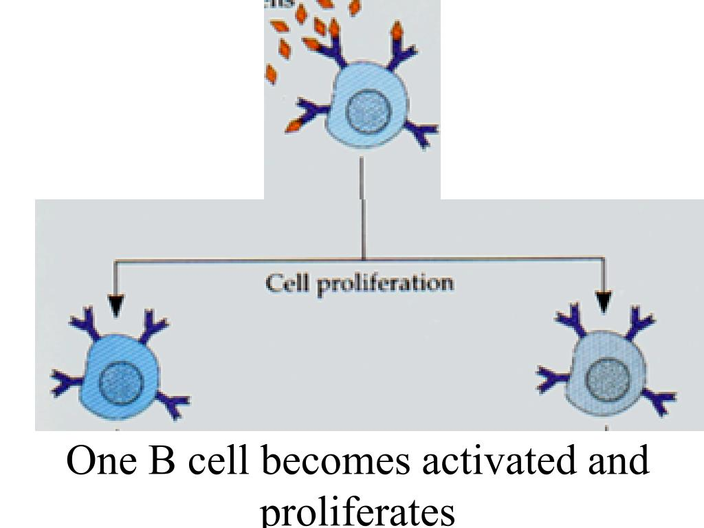 One B cell becomes activated and proliferates