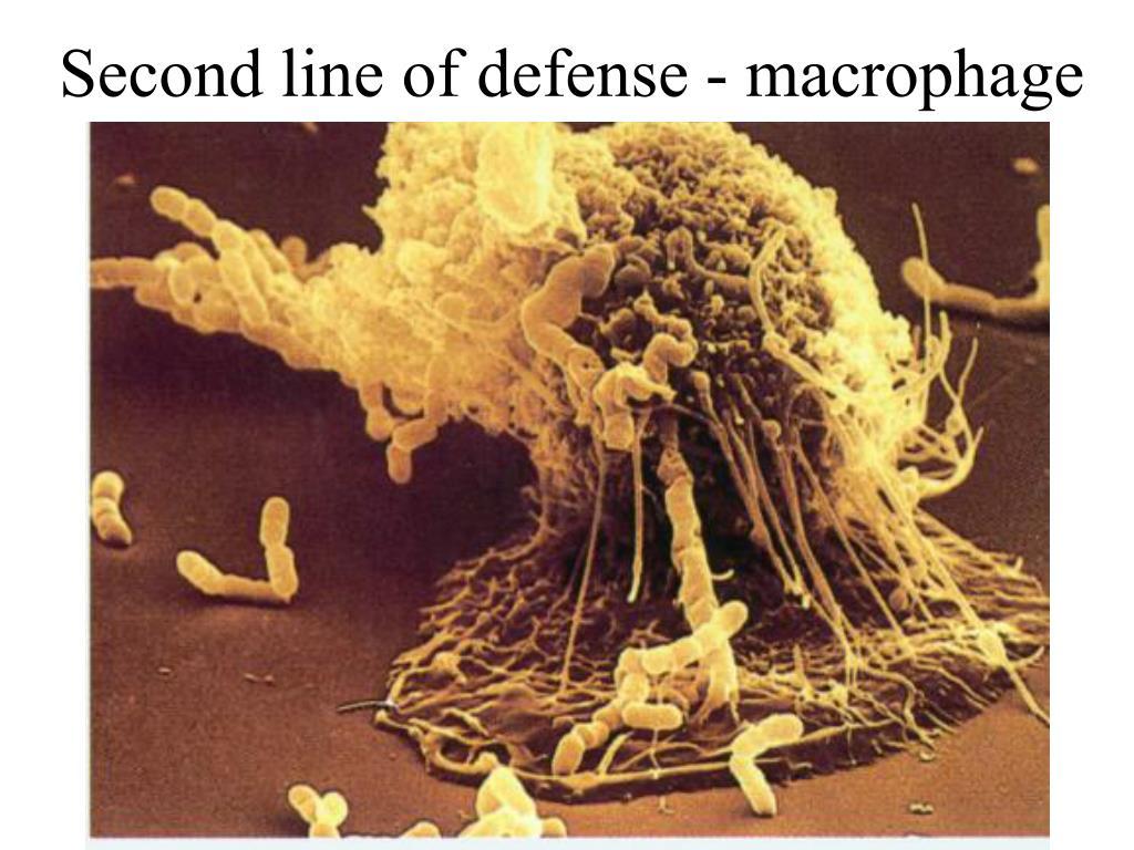 Second line of defense - macrophage