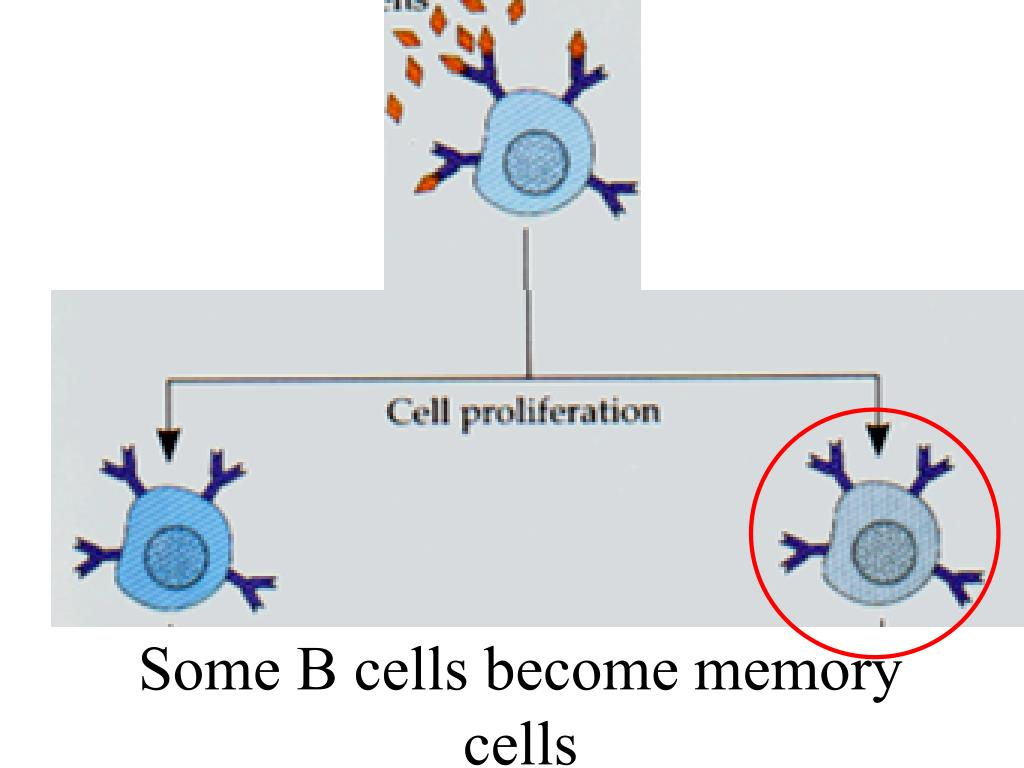 Some B cells become memory cells