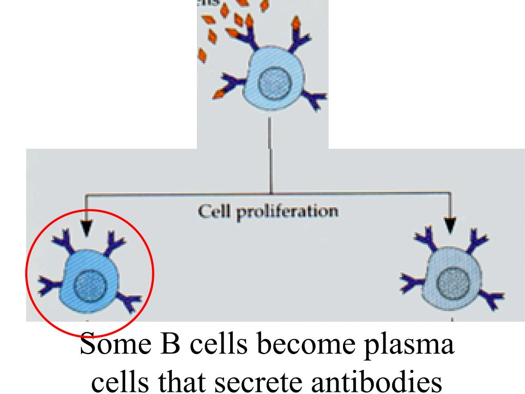 Some B cells become plasma cells that secrete antibodies