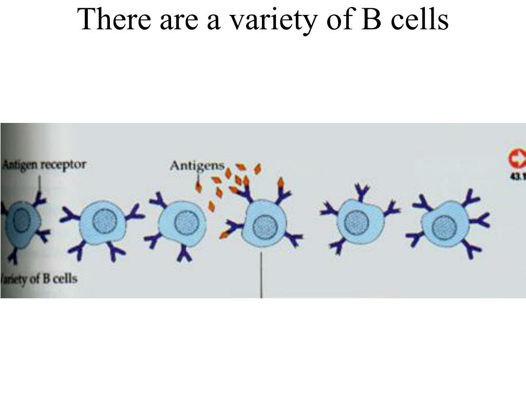 There are a variety of B cells