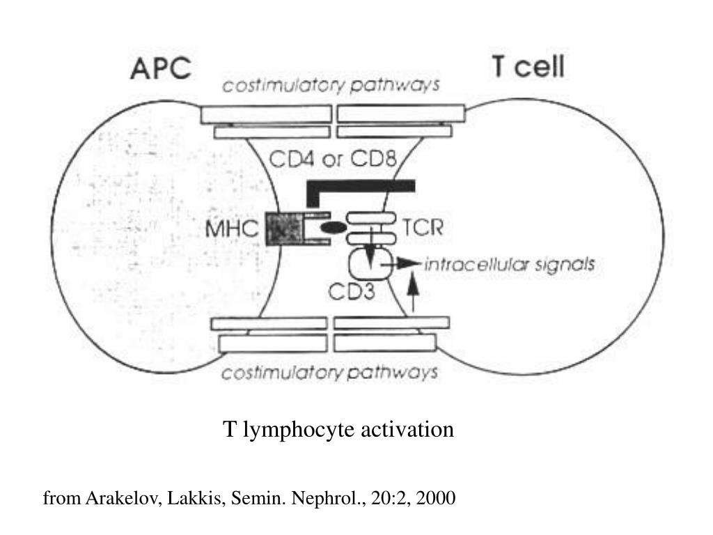 T lymphocyte activation