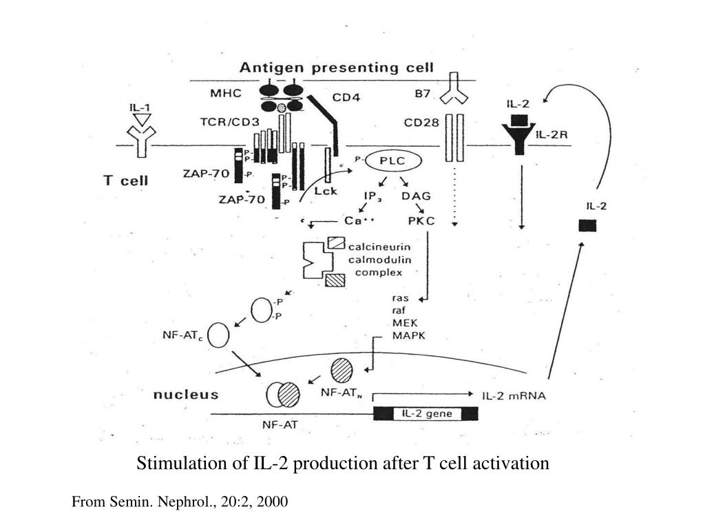 Stimulation of IL-2 production after T cell activation