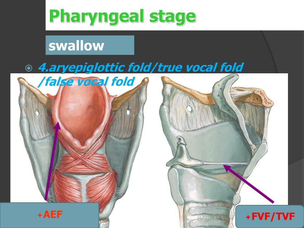 Pharyngeal stage