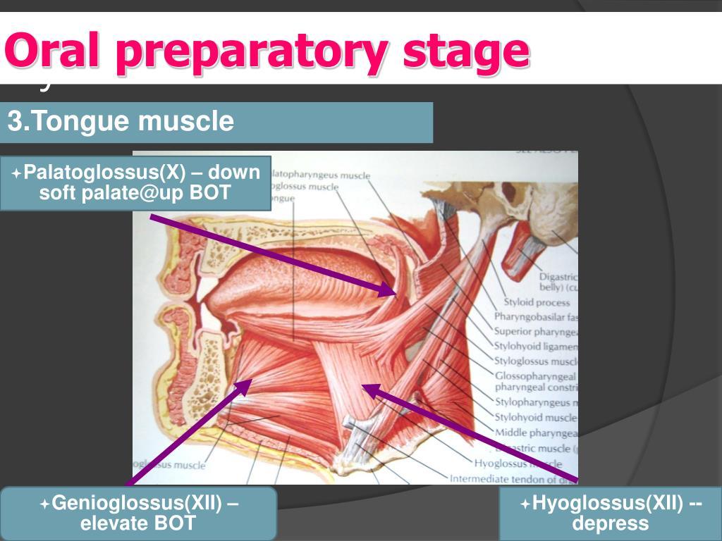 Oral preparatory stage