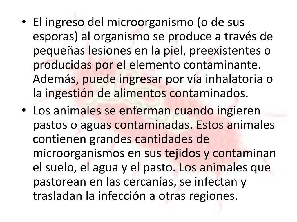 El ingreso del microorganismo (o de sus esporas) al organismo se produce a través de pequeñas lesiones en la piel, preexistentes o producidas por el elemento contaminante. Además, puede ingresar por vía
