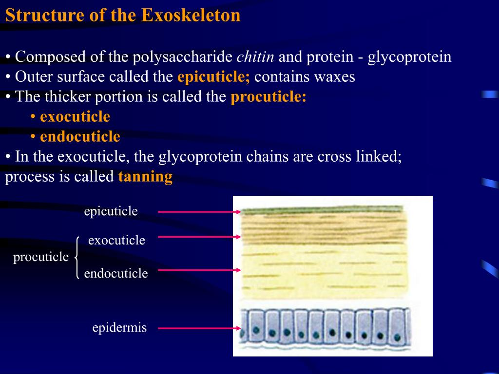 Structure of the Exoskeleton