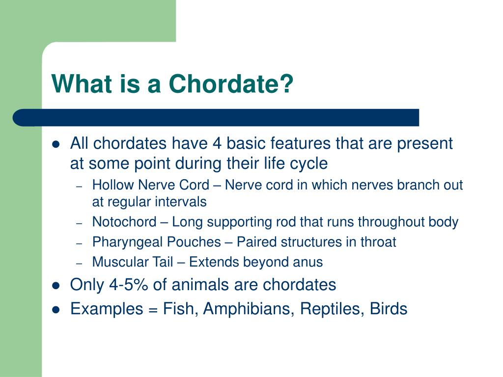 What is a Chordate?