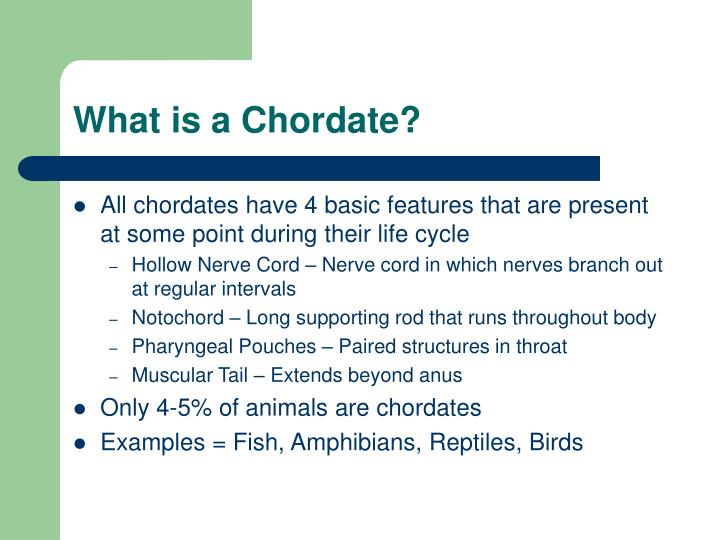 What is a chordate