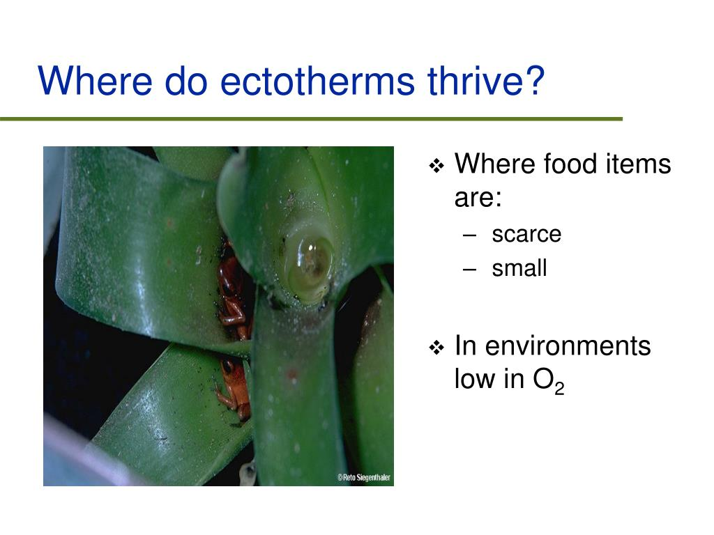 Where do ectotherms thrive?