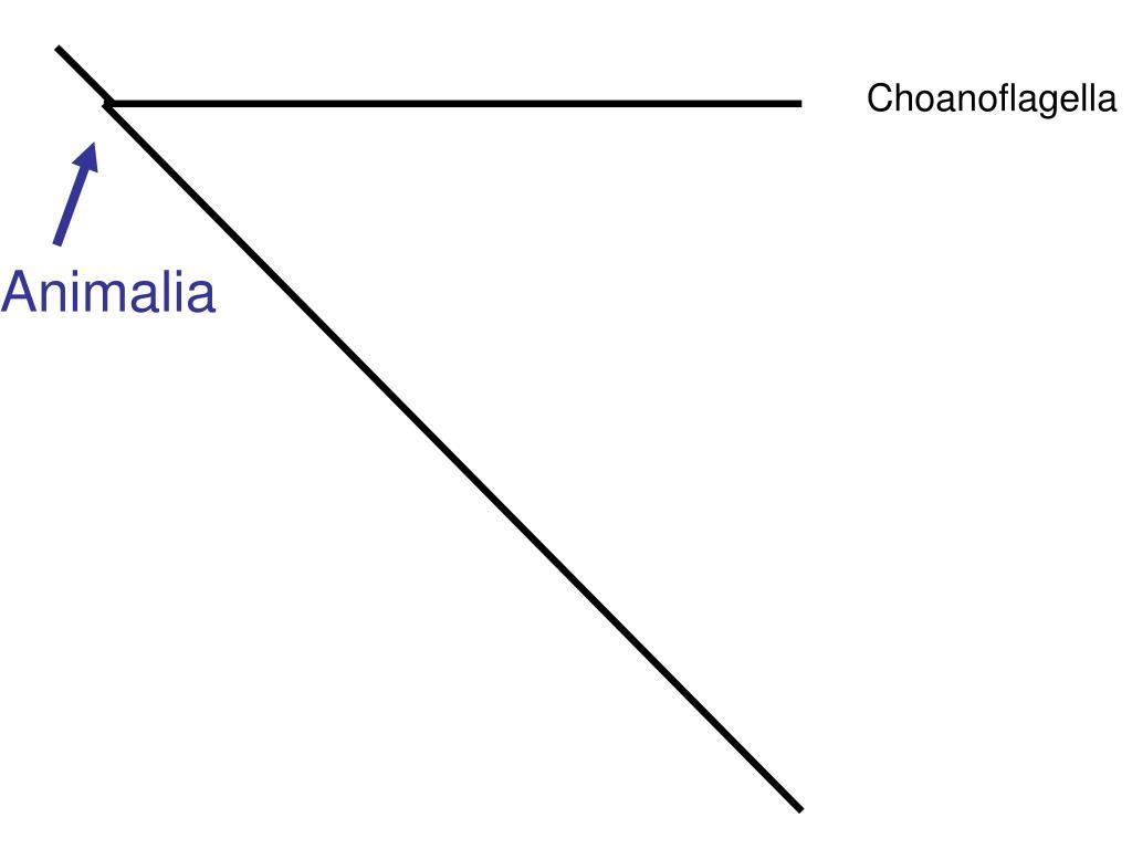 Choanoflagella