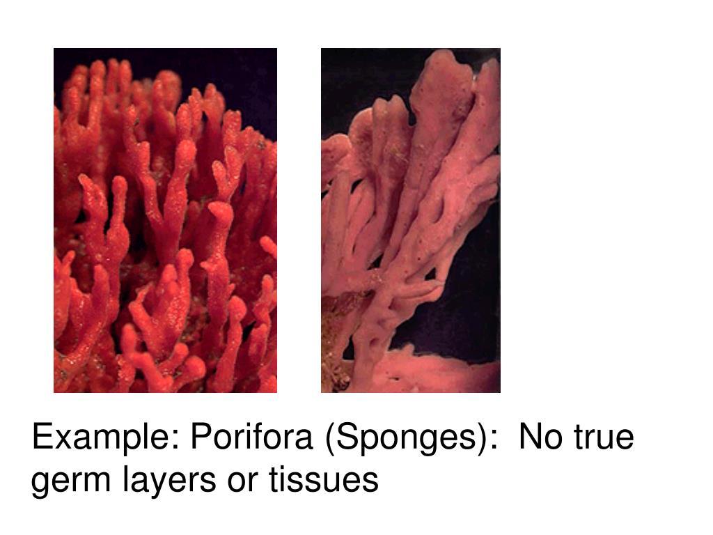 Example: Porifora (Sponges):  No true germ layers or tissues