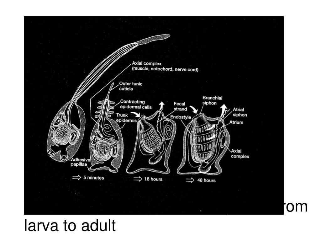 UROCHORDATE:  Metamorphosis from larva to adult
