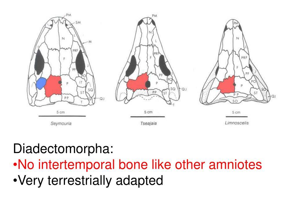 Diadectomorpha: