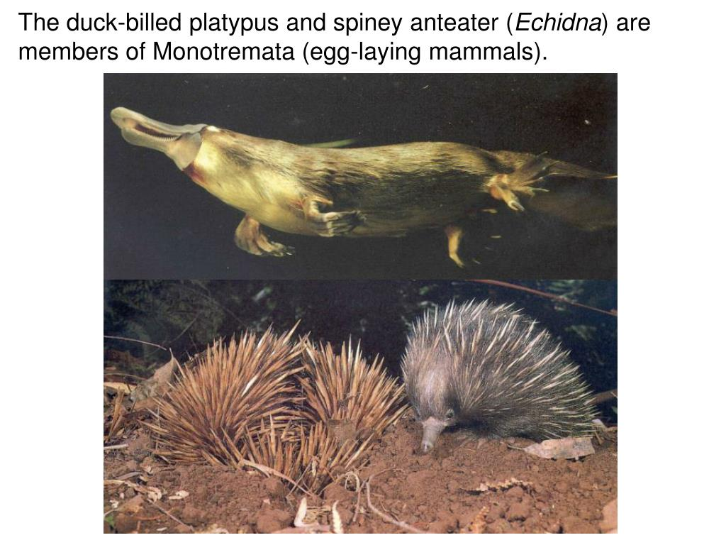 The duck-billed platypus and spiney anteater (