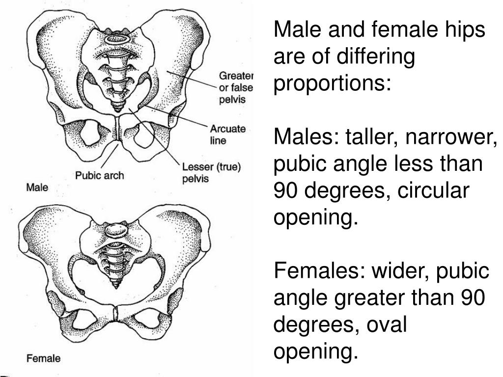 Male and female hips are of differing proportions: