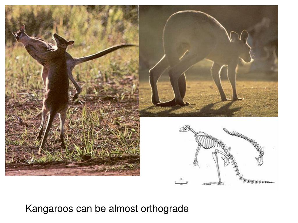 Kangaroos can be almost orthograde