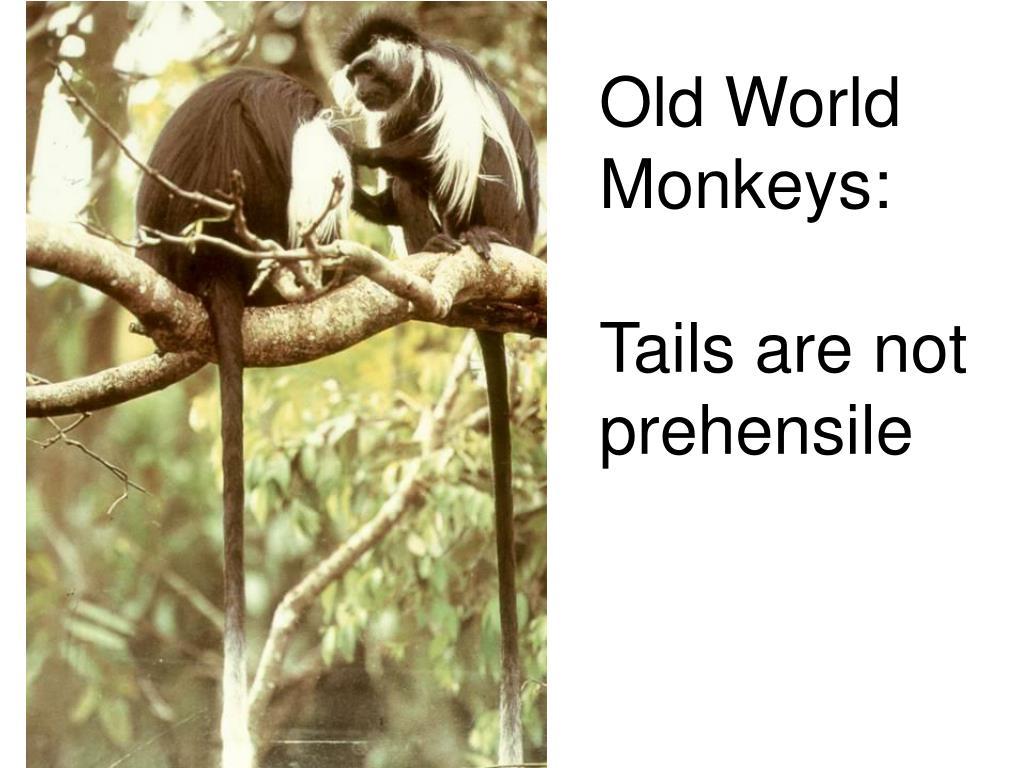 Old World Monkeys: