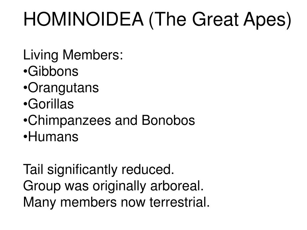 HOMINOIDEA (The Great Apes)