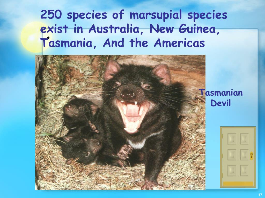 250 species of marsupial species exist in Australia, New Guinea, Tasmania, And the Americas