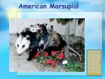 american marsupial